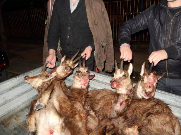 Γιάννενα: 13-11-2017 η δίκη των κυνηγών που σκότωσαν στο Τσεπέλοβο 6 αγριόγιδα 5 εκ των οποίων εγκυμονούσαν
