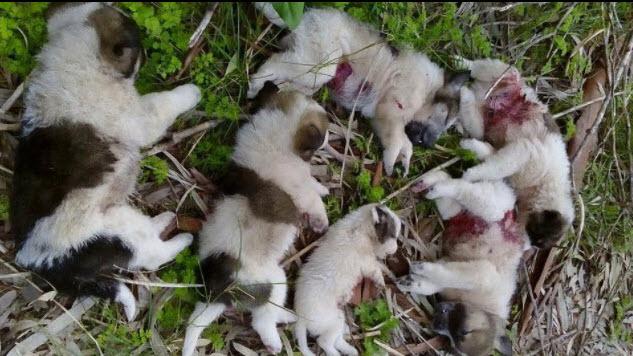 Με €1500 έχουν επικηρύξει τους δράστες θανάτωσης  με πυρά κυνηγετικού όπλου, επτά κουταβιών σε περιοχή του Μεσολογγίου.